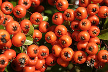 220px-sorbus_aucuparia_01_-_orange