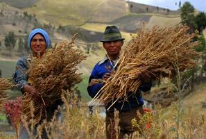 pianta-quinoa